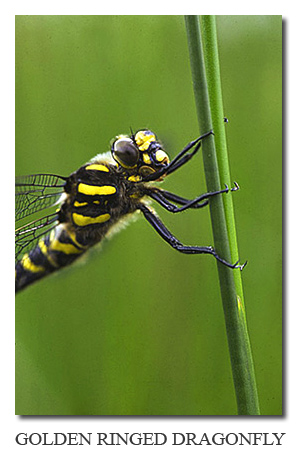 Photo Gallery ~ Golden ringed dragonfly