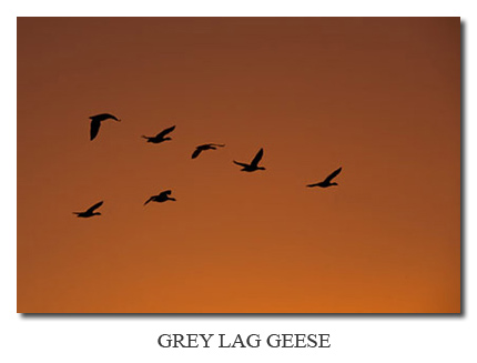 Photo Gallery ~ Grey Lag Geese at sunset