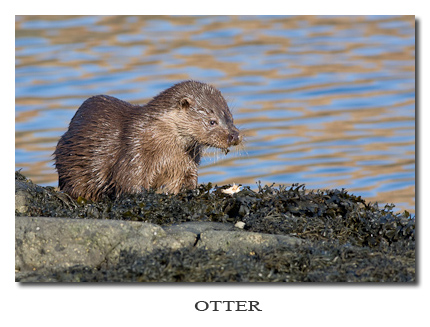 Photo Gallery ~ Otter feeding on crab
